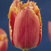 Тюльпаны Иоганн Гуттенберг