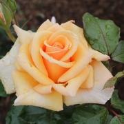 Розы Чешире