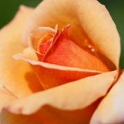 Розы Тахитиан Сансет