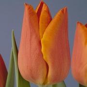 Тюльпаны Фиделио