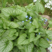 Brunnera Luking Glass