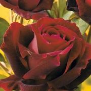 Розы Норита
