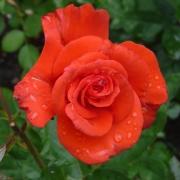 Розы Леди Роуз
