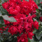 Розы Блэк Форест Роуз