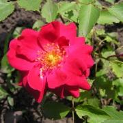 Розы Морден Кардинетте