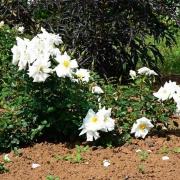 Розы Уайт Хазе