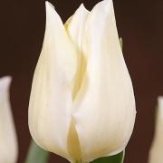Тюльпаны Уайт Миджет