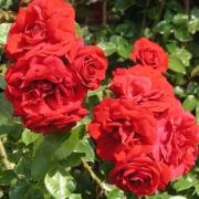 Розы Амадеус