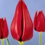Тюльпаны Сацавея