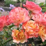 Розы Альфред Сисли