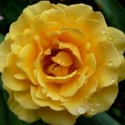 Розы Амбер Квин