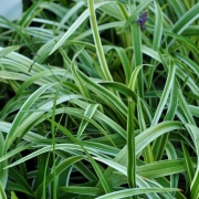 Лириопе Лириопе. Сорта и виды Лириопе. Выращивание Лириопе.