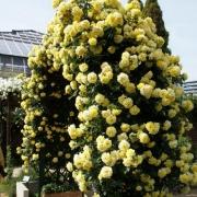 Розы Римоса Клаймбинг
