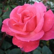 Розы Династи