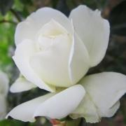 Розы Айси Дрифт