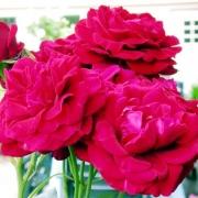 Розы Наеглут