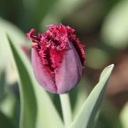 Тюльпаны Кубан Найт