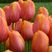 Тюльпаны Дордоне