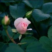 Розы Телма Барлоу