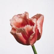 Тюльпаны Файн Арт