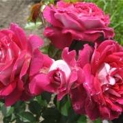 Розы Летс Селебрейт