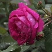 Розы Пинк Дон Жуан