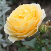 Розы Грэхам Томас