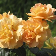 Розы Бернштайн Роуз