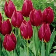 Тюльпаны Реа