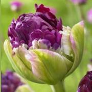 Тюльпаны Перпл Пеони