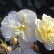 Розы Шниконигин