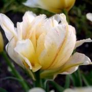 Тюльпаны Монте Бью