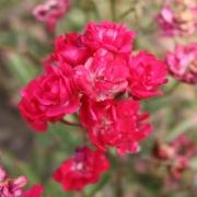 Розы Бордер Кинг