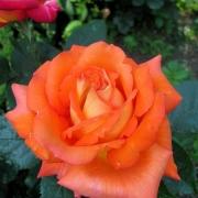 Розы Магдалена