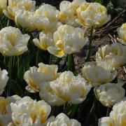 Тюльпаны Флеминг Эвита
