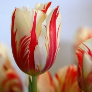 Тюльпаны Марина