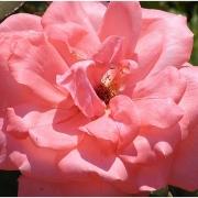 Розы Пирошка