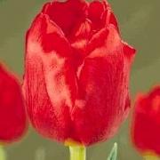 Тюльпаны Эир