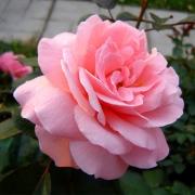 Розы Алдерли Парк
