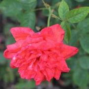 Розы Лав Стори