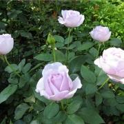 Розы Беринг Ренессанс