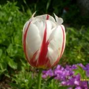 Тюльпаны Хэппи Дженерейшн