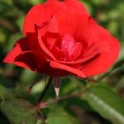 Розы Морден Файерглоу