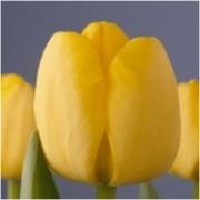 Тюльпаны Голден Парад