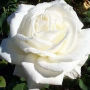 Розы Ивнинг Стар