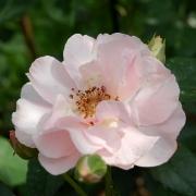 Розы Мария-Луиза Древон
