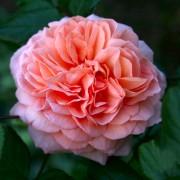 Розы Луи Клементс