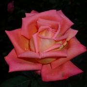 Розы Ведетте