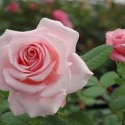 Розы Веронезе