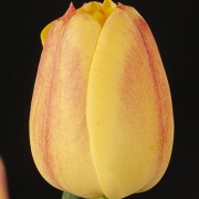 Тюльпаны Релевар